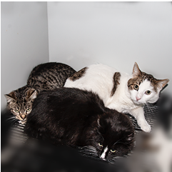 adoptable cats in Ely, NV